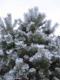Δέντρο πεύκων που καλύπτεται με το hoarfrost Στοκ Φωτογραφία