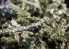 Δέντρο πεύκων που καλύπτεται στη βροχή παγώματος Στοκ εικόνα με δικαίωμα ελεύθερης χρήσης