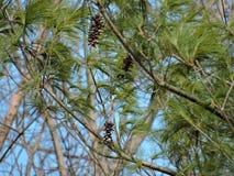 Δέντρο πεύκων που ταλαντεύεται στον αέρα Στοκ Εικόνες
