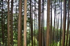 Δέντρο πεύκων σε ένα δάσος στοκ φωτογραφία