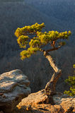 Δέντρο πεύκων στην άκρη απότομων βράχων στοκ εικόνες
