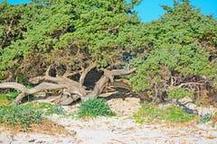Δέντρο πεύκων στην άμμο σε Alghero Στοκ Εικόνες