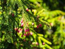 Δέντρο πεύκων στην άνθιση στοκ φωτογραφία