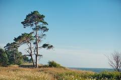Δέντρο πεύκων στην ακτή της θάλασσας της Βαλτικής Στοκ εικόνα με δικαίωμα ελεύθερης χρήσης