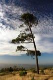 Δέντρο πεύκων στην ακτή του ωκεανού Στοκ εικόνα με δικαίωμα ελεύθερης χρήσης