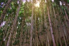 Δέντρο πεύκων στην κοιλάδα κόλασης, Jigokudani, Ιαπωνία στοκ φωτογραφία με δικαίωμα ελεύθερης χρήσης