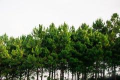 Δέντρο πεύκων στην Ταϊλάνδη Στοκ Φωτογραφία