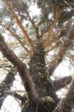 Δέντρο πεύκων στη Γεωργία στοκ εικόνα