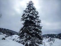 Δέντρο πεύκων στη χειμερινή εποχή Στοκ εικόνα με δικαίωμα ελεύθερης χρήσης