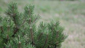 Δέντρο πεύκων στον αέρα φιλμ μικρού μήκους