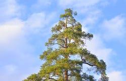 Δέντρο πεύκων στον ουρανό σύννεφων Στοκ Εικόνες