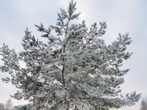 Δέντρο πεύκων στον παγετό Στοκ φωτογραφία με δικαίωμα ελεύθερης χρήσης