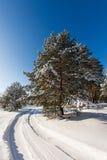 Δέντρο πεύκων στο λιβάδι στο χειμερινό δάσος Στοκ Εικόνες