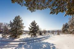 Δέντρο πεύκων στο λιβάδι στο χειμερινό δάσος Στοκ εικόνα με δικαίωμα ελεύθερης χρήσης