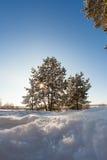 Δέντρο πεύκων στο λιβάδι στο χειμερινό δάσος Στοκ Εικόνα