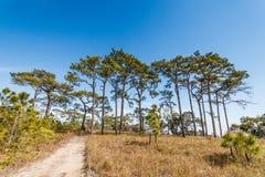 Δέντρο πεύκων στο τροπικό δάσος στοκ εικόνες