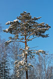 Δέντρο πεύκων στο χιόνι, χειμώνας Στοκ Φωτογραφίες