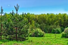 Δέντρο πεύκων στο χορτοτάπητα στο δάσος στο λόφο ο Στοκ Φωτογραφία