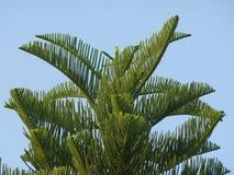 Δέντρο πεύκων της Νέας Καληδονίας ή πεύκων Cook ενάντια στο δονούμενο μπλε ουρανό Στοκ φωτογραφία με δικαίωμα ελεύθερης χρήσης