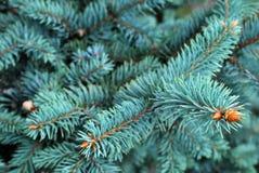 δέντρο πεύκων φύλλων στοκ εικόνες