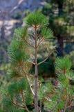 δέντρο πεύκων φύλλων Στοκ Εικόνα