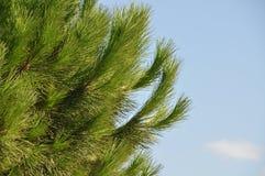 δέντρο πεύκων Στοκ Φωτογραφίες