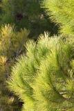 δέντρο πεύκων στοκ εικόνα με δικαίωμα ελεύθερης χρήσης