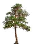 δέντρο πεύκων Στοκ Εικόνα