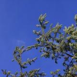 Δέντρο πεύκων Aleppo Στοκ Εικόνα