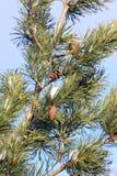 Δέντρο πεύκων Aleppo Στοκ Εικόνες