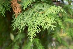 Δέντρο πεύκων Confiner Στοκ φωτογραφία με δικαίωμα ελεύθερης χρήσης