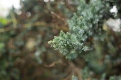 Δέντρο πεύκων Confiner Στοκ φωτογραφίες με δικαίωμα ελεύθερης χρήσης