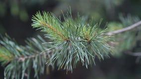 Δέντρο πεύκων neddles σε έναν κλάδο απόθεμα βίντεο