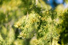Δέντρο πεύκων orientalis Thuja Στοκ Εικόνα