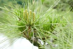 Δέντρο πεύκων thunbergii πεύκων και λίμνη κήπων Στοκ Εικόνες
