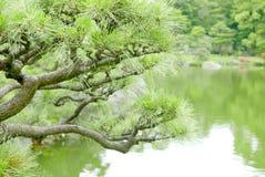 Δέντρο πεύκων thunbergii πεύκων και λίμνη κήπων Στοκ φωτογραφία με δικαίωμα ελεύθερης χρήσης