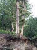 Δέντρο πιθήκων Στοκ εικόνα με δικαίωμα ελεύθερης χρήσης