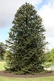 Δέντρο πιθήκων, araucana αροκαριών Στοκ Εικόνες