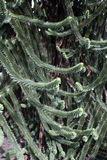 Δέντρο πιθήκων, araucana αροκαριών Στοκ Εικόνα