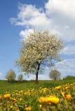 δέντρο πικραλίδων κερασι στοκ φωτογραφία με δικαίωμα ελεύθερης χρήσης