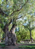 Δέντρο πιπεριών με τον κορμό Gnarled στο πάρκο λιμνών Lindo στην όχθη της λίμνης, Καλιφόρνια κοντά στο Σαν Ντιέγκο Στοκ Εικόνα
