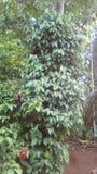 Δέντρο πιπεριών που στέκεται ψηλό στο Κεράλα Στοκ εικόνες με δικαίωμα ελεύθερης χρήσης