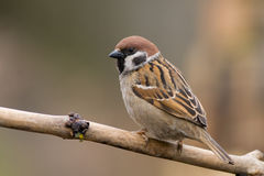 δέντρο πουλιών sparrow3 Στοκ Εικόνες