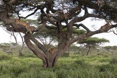 Δέντρο που αναρριχείται στα λιοντάρια που κοιμούνται στους κλάδους Στοκ φωτογραφία με δικαίωμα ελεύθερης χρήσης