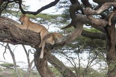 Δέντρο που αναρριχείται στα λιοντάρια που κοιμούνται στους κλάδους Στοκ Εικόνες