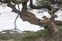 Δέντρο που αναρριχείται στα λιοντάρια που κοιμούνται στους κλάδους Στοκ εικόνες με δικαίωμα ελεύθερης χρήσης