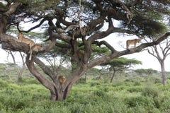 Δέντρο που αναρριχείται στα λιοντάρια που κοιμούνται στους κλάδους Στοκ φωτογραφίες με δικαίωμα ελεύθερης χρήσης