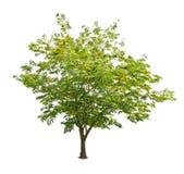 Δέντρο που απομονώνεται ενάντια σε ένα λευκό Στοκ Εικόνα
