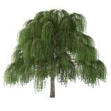 Δέντρο που απομονώνεται. Ιτιά Salix Στοκ εικόνες με δικαίωμα ελεύθερης χρήσης