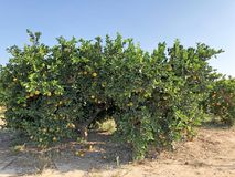 Δέντρο που απομονώνεται πορτοκαλί Στοκ φωτογραφίες με δικαίωμα ελεύθερης χρήσης